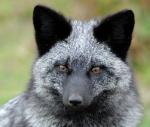 Avatar de Petit renard noir